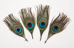 5 Peacock Feathers - Pkg 2